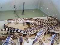 A little bit older crocodile hatchlings