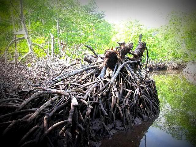 Indiscriminate cutting of mangrove trees
