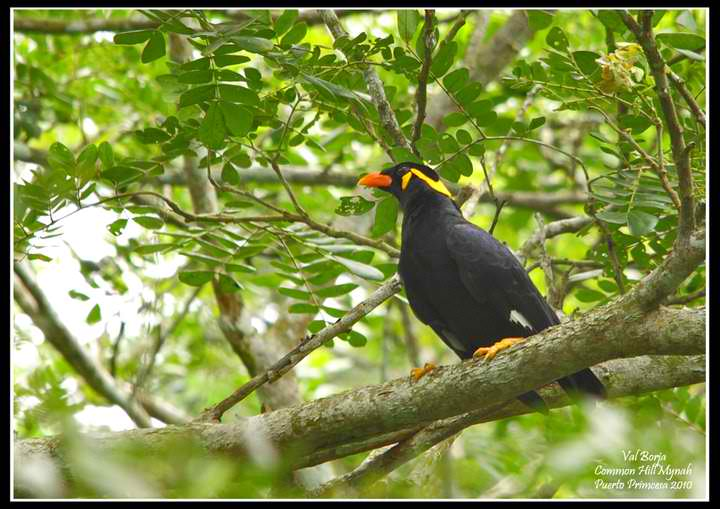 Mynah in the Wilds of Palawan