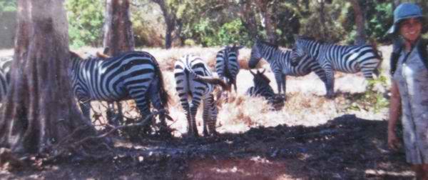 Zebras in Calauit Island