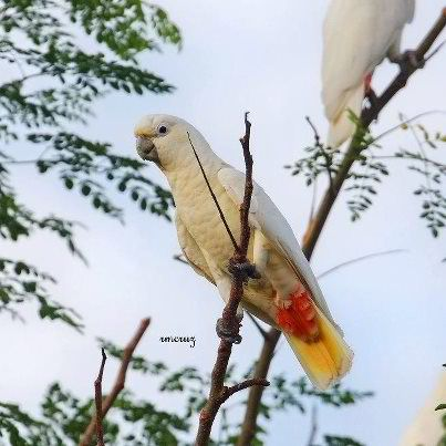 The Endangered Philippine Cockatoo (Cacatua haematuropygia)