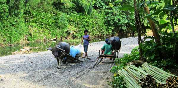 Carabao Sleigh as a means of transportation in the rural areas of Palawan Philippines