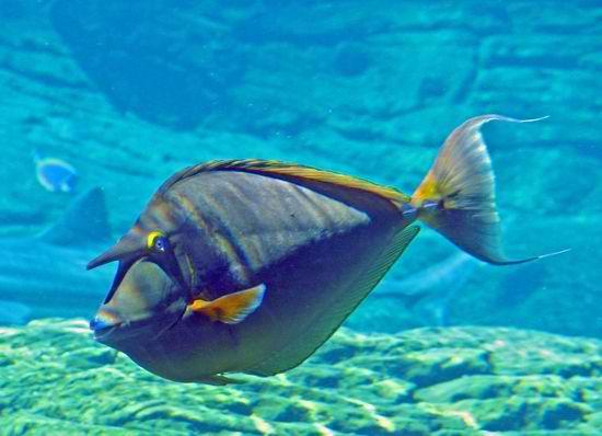 The Suran/Unicorn Fish Live