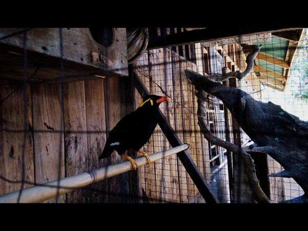 Talking mynah bird, locally known as Kiao.